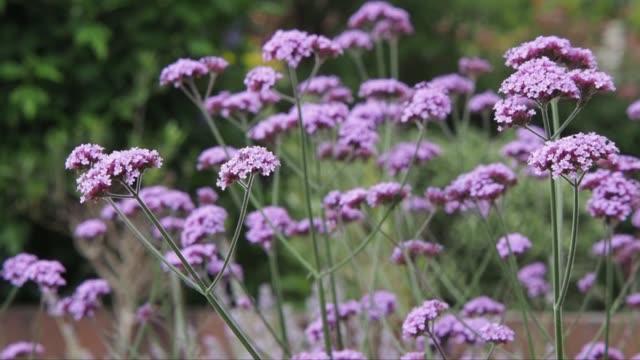 Verbena plants in an English domestic garden