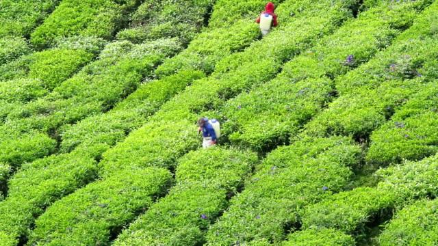 vidéos et rushes de verdoyant plantation de thé - thé boisson chaude