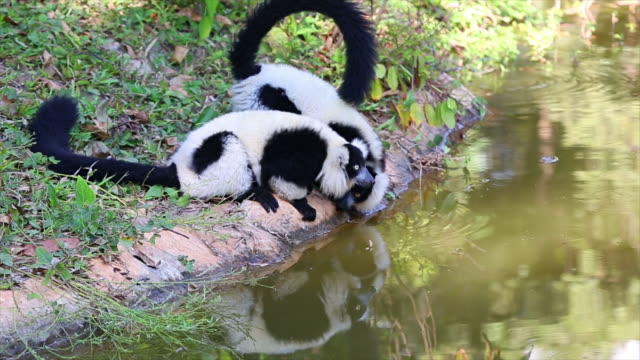Veriegated Lemur.
