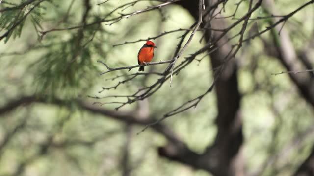vermilion flycatcher: arizona - small stock videos & royalty-free footage