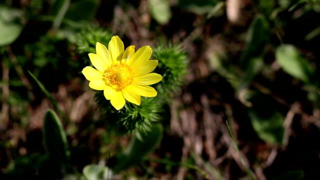 Vernalis in nature