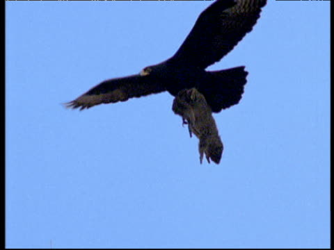 verreaux's eagle carrying rock hyrax in flight, africa - 空気力学点の映像素材/bロール