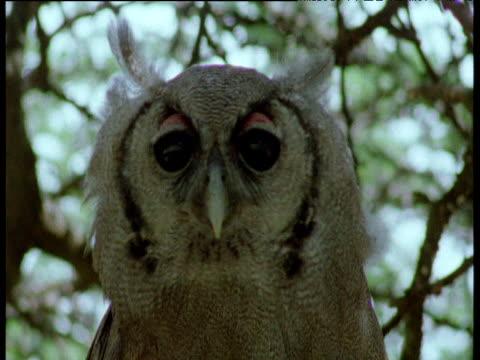 verreaux's eagle owl bobs its head and blinks its eyes - blinka ansiktsuttryck bildbanksvideor och videomaterial från bakom kulisserna