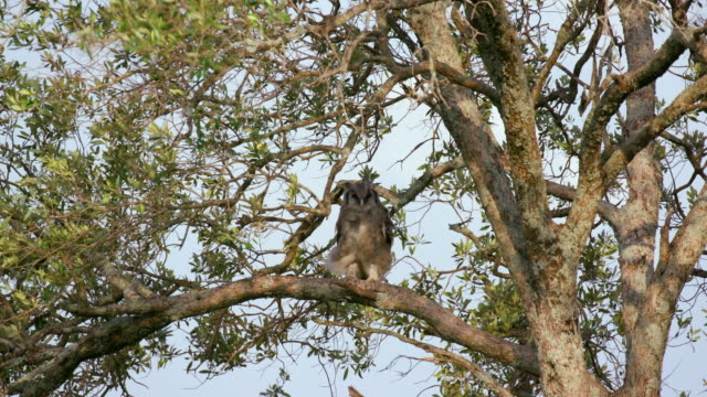 verreaux's eagle-owl bubo lacteus, maasai mara, kenya, africa - perching stock videos & royalty-free footage