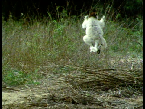 Verreaux's Sifaka bounces along grassy area in forest clearing, Madagascar