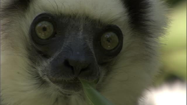 Verreaux's sifaka (Propithecus verreauxi) eats leaf in tree, Madagascar