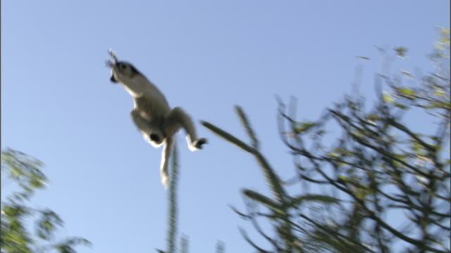 Verreaux's sifaka (Propithecus verreauxi) leaps betwen trees, Madagascar
