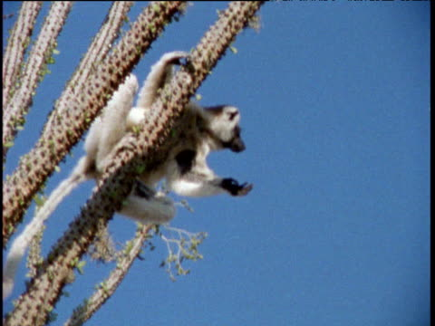 verreaux's sifaka leaps from spiky plant and lands in tree, madagascar - primate stock videos and b-roll footage