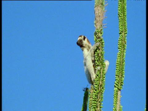 verreaux's sifaka leaps from spiny alluaudia plant, madagascar - chroma key stock videos & royalty-free footage