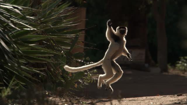 verreaux's sifaka (propithecus verreauxi) leaps over ground, madagascar  - キツネザル点の映像素材/bロール