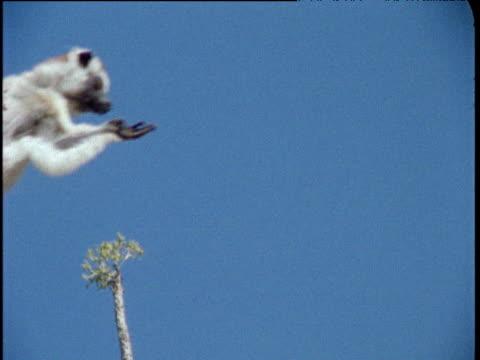vídeos de stock, filmes e b-roll de verreaux's sifaka leaps through shot carrying baby, madagascar - vida de bebê