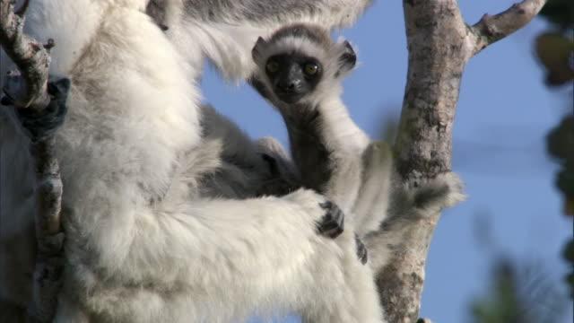 Verreaux's sifaka lemur (Propithecus verreauxi) and baby, Madagascar