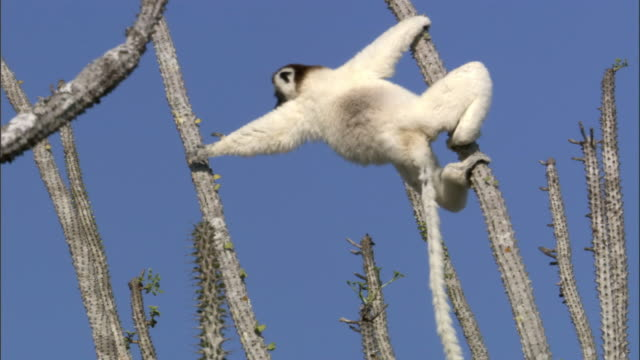 Verreaux's sifaka lemur (Propithecus verreauxi) clambers and feeds in spiny forest, Madagascar