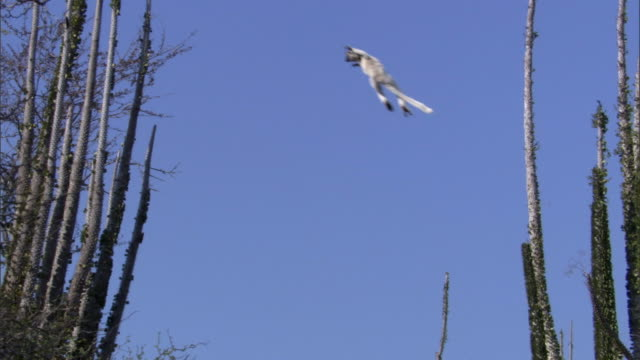 verreaux's sifaka lemur (propithecus verreauxi) leaps in spiny forest, madagascar - appuntito video stock e b–roll