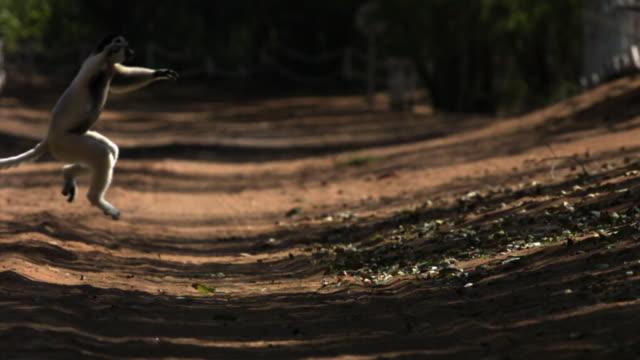 verreaux's sifaka (propithecus verreauxi) lemur leaps over ground in spiny forest, berenty, madagascar - キツネザル点の映像素材/bロール
