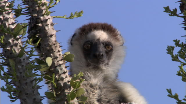 verreaux's sifaka lemur (propithecus verreauxi) looks around in spiny forest, madagascar - appuntito video stock e b–roll