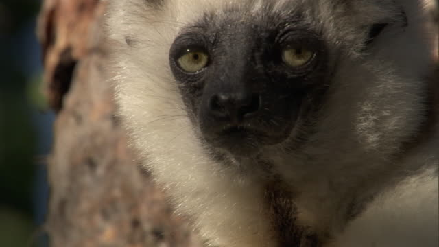 verreaux's sifaka (propithecus verreauxi) looks around lazily in spiny forest, madagascar  - laziness stock videos and b-roll footage
