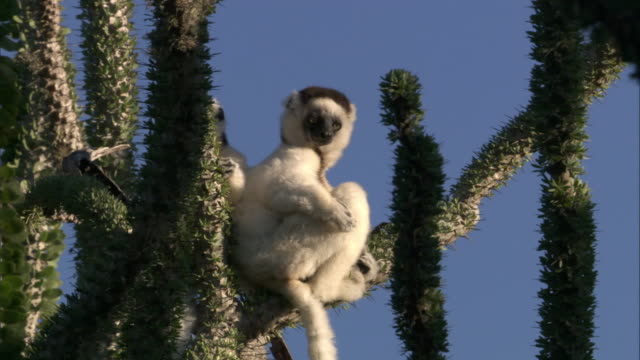 verreaux's sifakas (propithecus verreauxi) sitting on ocotillo (alluaudia procera) stem, madagascar  - cactus stock videos and b-roll footage