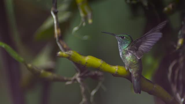versicoloured emerald hummingbird (amazilia versicolor) takes off from perch. - hummingbird stock videos and b-roll footage