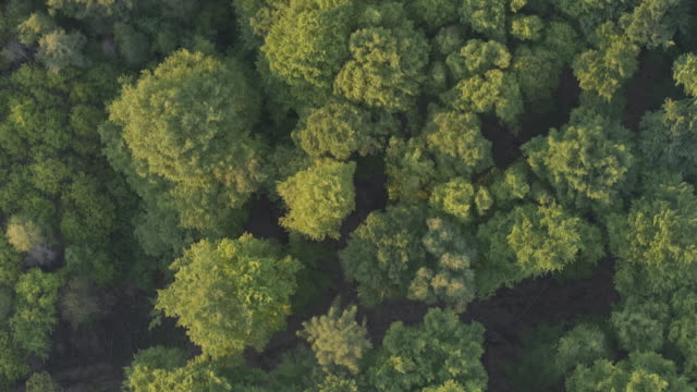 vertical aerial drone shot of trees at sunset in german nature preserve - treetop stock videos & royalty-free footage