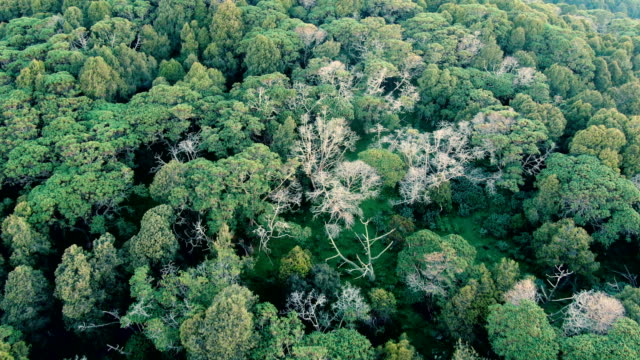 vertical aerial view of dinsho forest with hagenia woodland and juniper trees- one of last remaining natural habitats in ethiopia - エチオピア点の映像素材/bロール