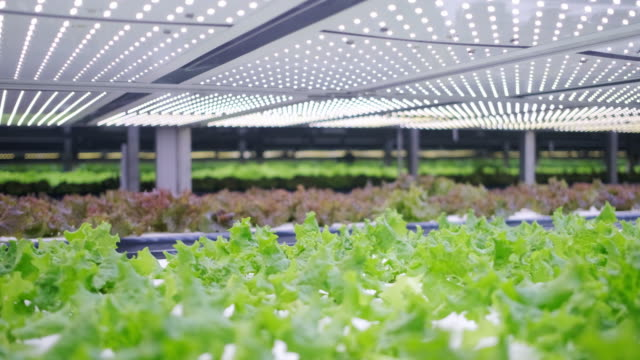 vídeos de stock e filmes b-roll de vertical farming offers a path toward a sustainable future - alface