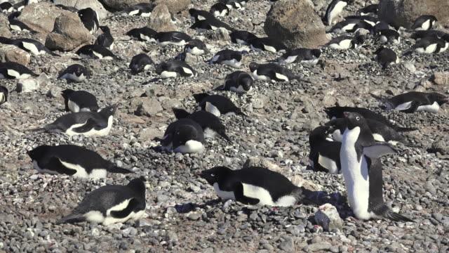 vertical pan of brown bluff and adelie penguin rookery, antarctic peninsula, southern ocean - antarctic peninsula stock videos & royalty-free footage
