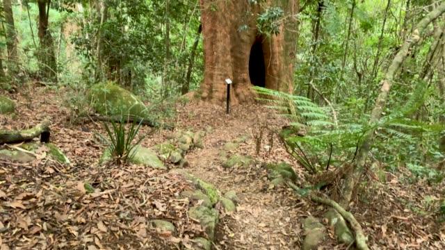 Vertical Panning View Of Giant Tree In Australian Rainforest 4K