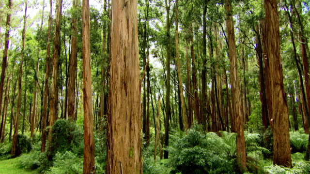 """vertical rising shots in mountain ash forest, australia - """"bbc universal"""" stock videos & royalty-free footage"""