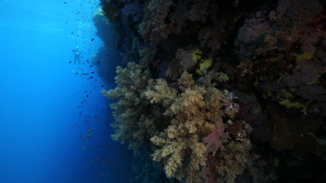 A vertical shot of a reef wall covered in large soft corals