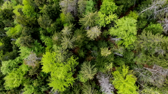 vertical view/ pristine forest in zarnesti gorge, piatra craiului national park ,carpathian mountains/ aerial drone view, romania - pinaceae stock videos & royalty-free footage