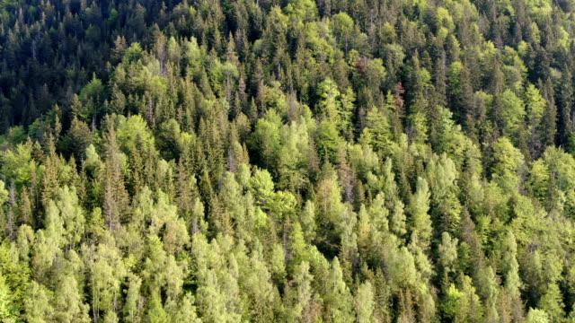 vertical view/ pristine forest in zarnesti gorge, piatra craiului national park ,carpathian mountains/ aerial drone view, romania - siebenbürgen stock-videos und b-roll-filmmaterial