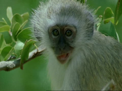 vervet monkey, cercopithecus aethiops, sitting in tree and searching, botswana, africa - searching点の映像素材/bロール