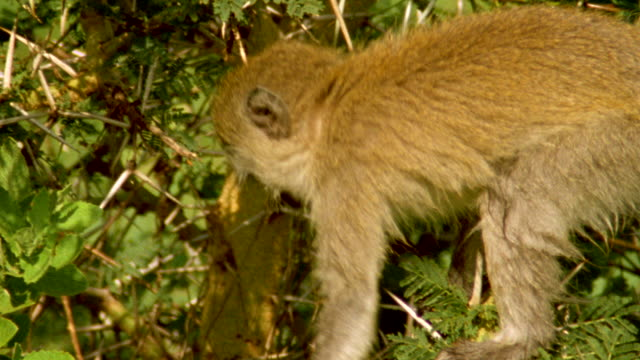 vídeos de stock e filmes b-roll de ms ts vervet monkey climbing along branches of acacia bush / tanzania - árvore tropical