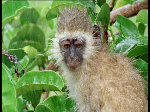 vervet monkey in the rain, sticks out tongue and shakes itself - blinking stock videos & royalty-free footage
