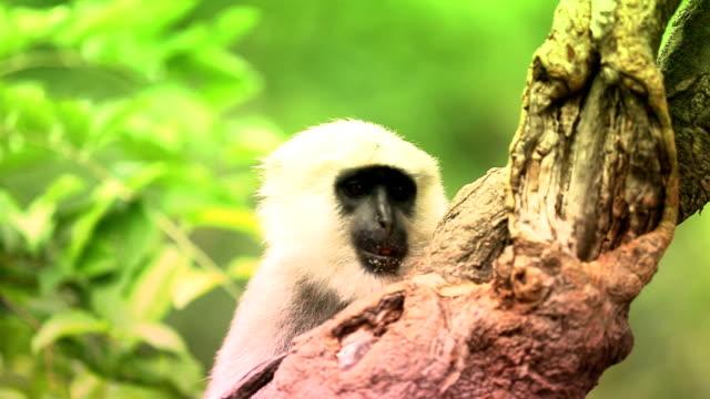 vervet monkey on a tree - wilderness area stock videos & royalty-free footage