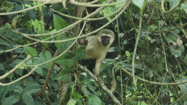 A Vervet monkey (Chlorocebus pygerythrus) peers at the camera from a tree branch.