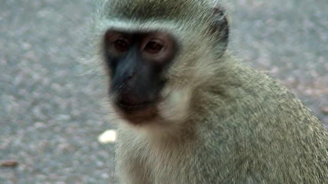 stockvideo's en b-roll-footage met vervet monkey - rabiës