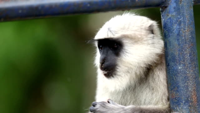 vídeos de stock, filmes e b-roll de macaco vervet - cinza descrição de cor
