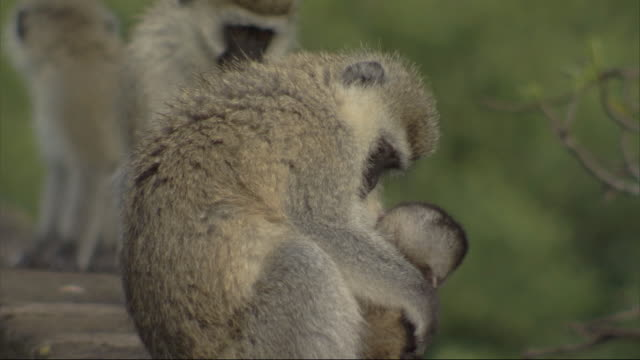 vervet monkeys (chlorocebus pygerythrus) sitting on wall, mother with young, kenya - primate stock videos and b-roll footage