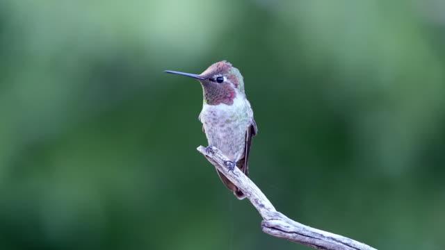 vídeos de stock e filmes b-roll de very alert male anna's hummingbird - beija flor