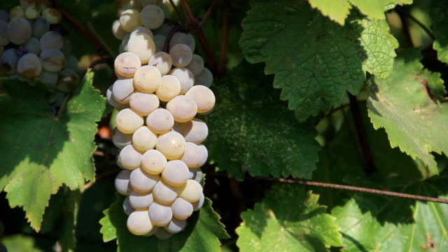 very beautiful grapes - grape leaf stock videos and b-roll footage