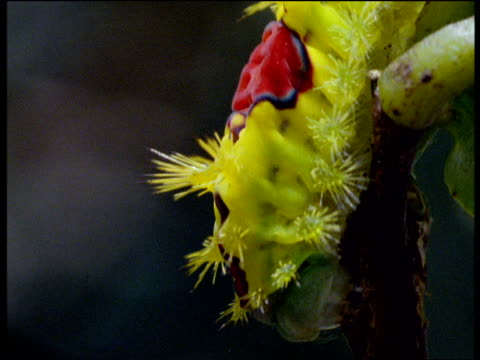 vídeos de stock e filmes b-roll de very brightly coloured yellow caterpillar crawls down stem - pelagem de animal