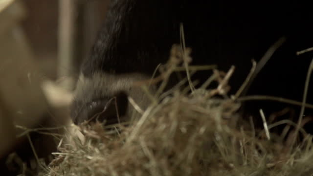 very close up cow - barn stock videos & royalty-free footage