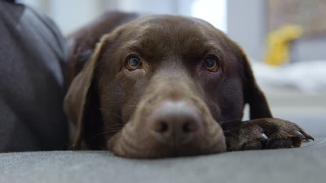 very cute and expressive chocolate labrador - animal eye stock videos & royalty-free footage