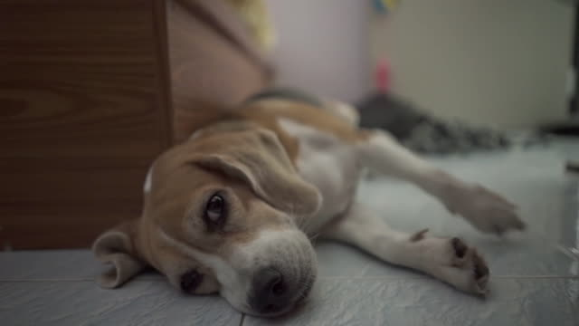 Very Cute sleeping beagle dog at night