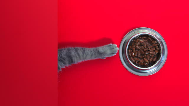 very delicious cat food. the hungry cat managed to pull the wet cat food bowl on the red table towards itself. - claw stock videos & royalty-free footage