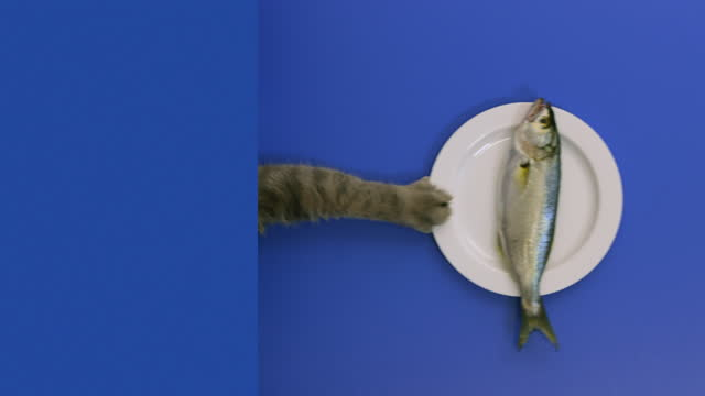 very delicious fish. the hungry cat pulls on the white plate and eating a fish. british short hair cat - claw stock videos & royalty-free footage