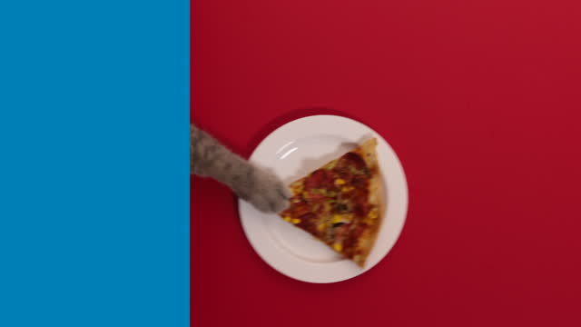 very delicious pizza slice. the hungry cat pulls on the white plate and eating pizza slice. british shorthair cat - claw stock videos & royalty-free footage