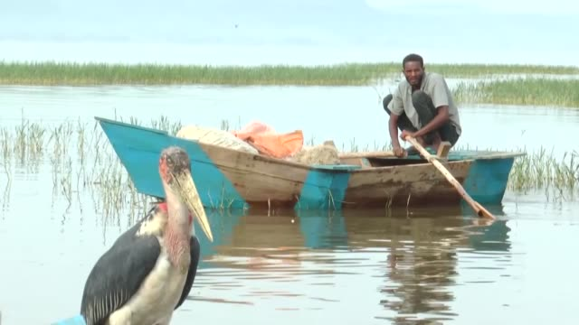 very early in the morning, along the banks of lake hawassa in southern ethiopia, pelicans swarm an enclosed area with their uniquely majestic poise,... - only young men stock videos & royalty-free footage